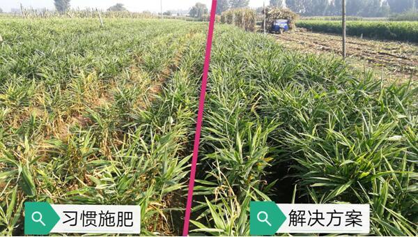 安丘大姜生态种植解决方案(标准)正式发布